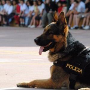 exhibicin-de-la-unidad-canina-de-la-policia-local-de-marbella-21805371